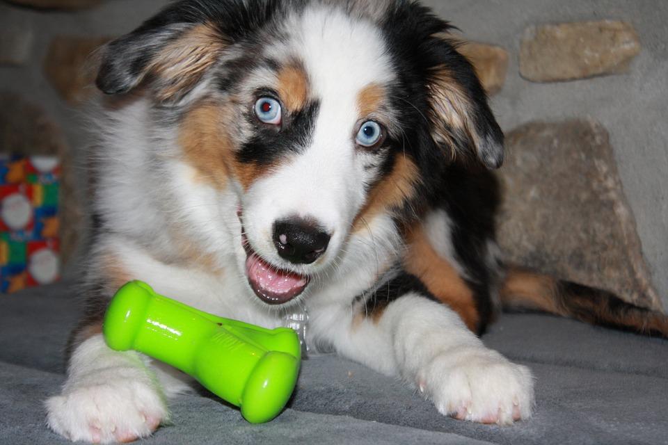 puppy-Aussie
