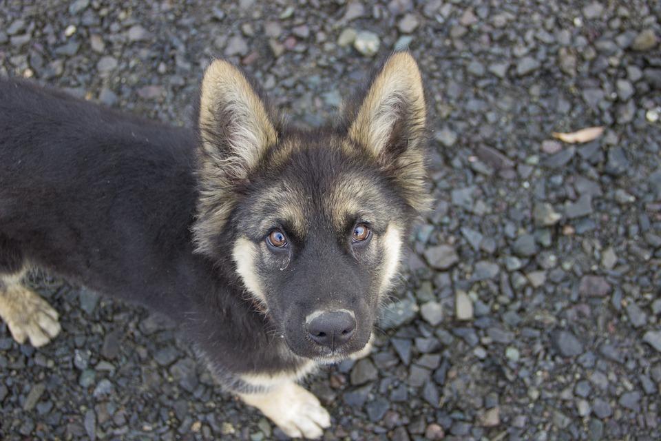 puppy-GSD