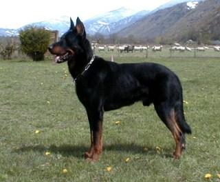 The Beauceron Academic Hound Dog Training