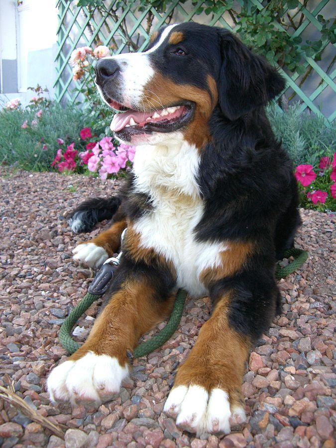 The Bernese Mountain Dog Academic Hound Dog Training
