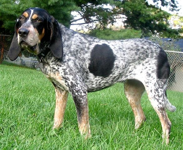 Bluetick Coonhound Austin