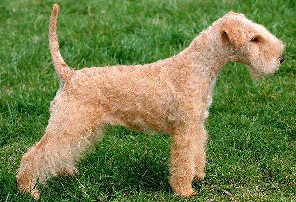 Lakeland Terrier Austin
