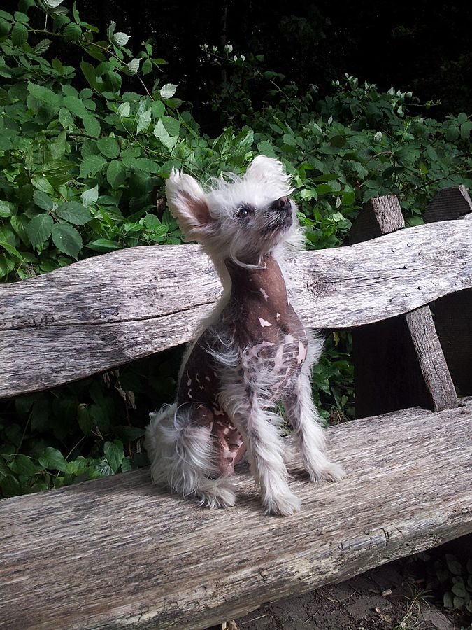 Chinese Crested Hays county